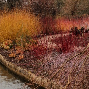 Winter colour beside the lake at Wisley