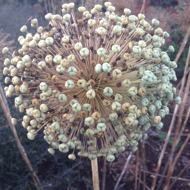 seed head in the cutting garden
