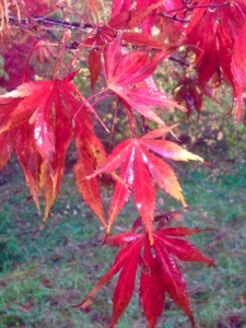 Acer Palmatum at Hole Park