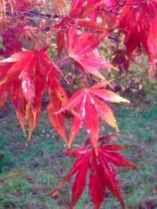 Acer Palmatum at Hole Park