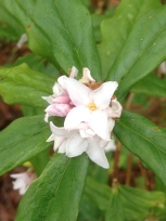Scented winter flowering shrub Daphne