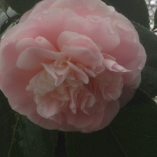 Pale Pink Camellia