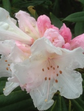 pale pink rhododendron flower