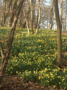 Early Daffodils at Painshill Park