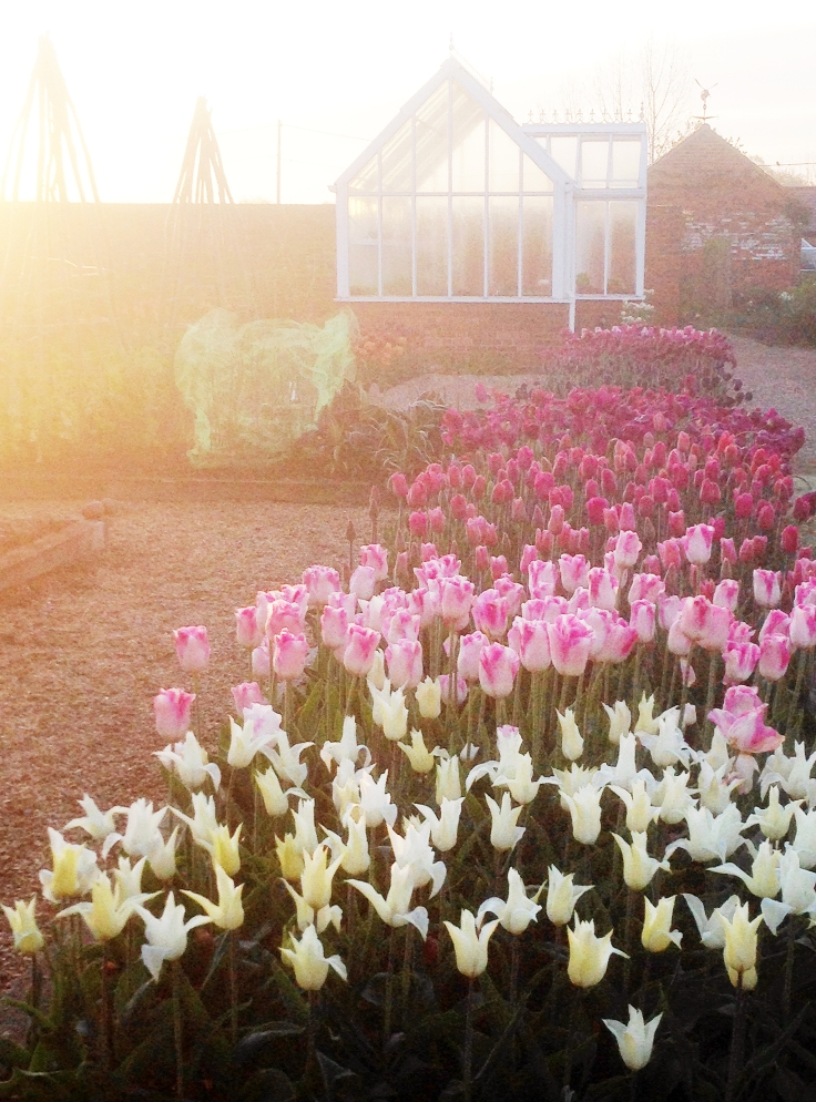 Spring Dawn with tulips in English Garden
