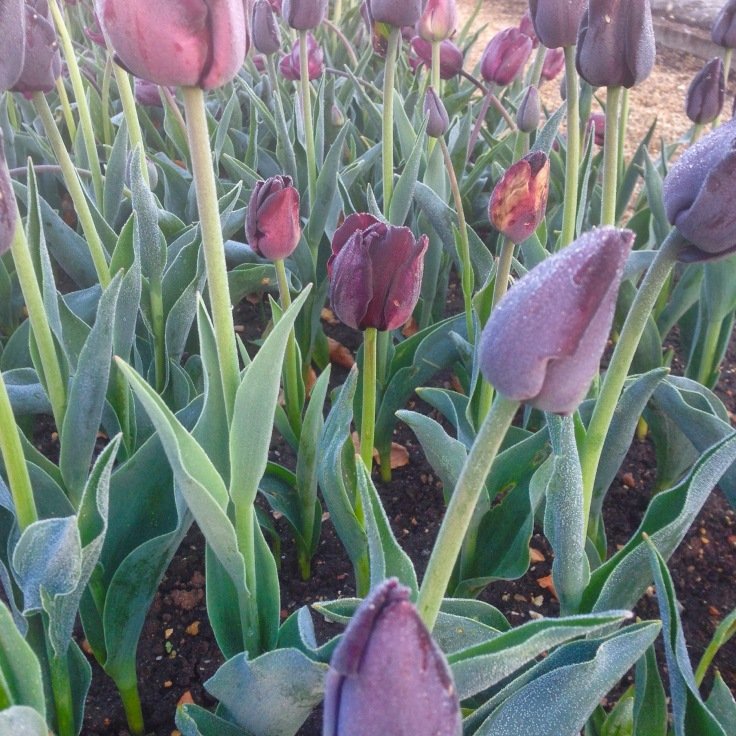 tulipa paul scherer in early morning frost