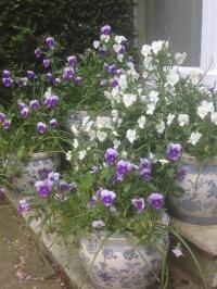 pots of pansies