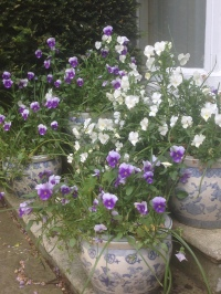 pots of pansies