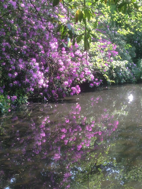 Rhododendrons beside the former mill pond at Lowder Mill.