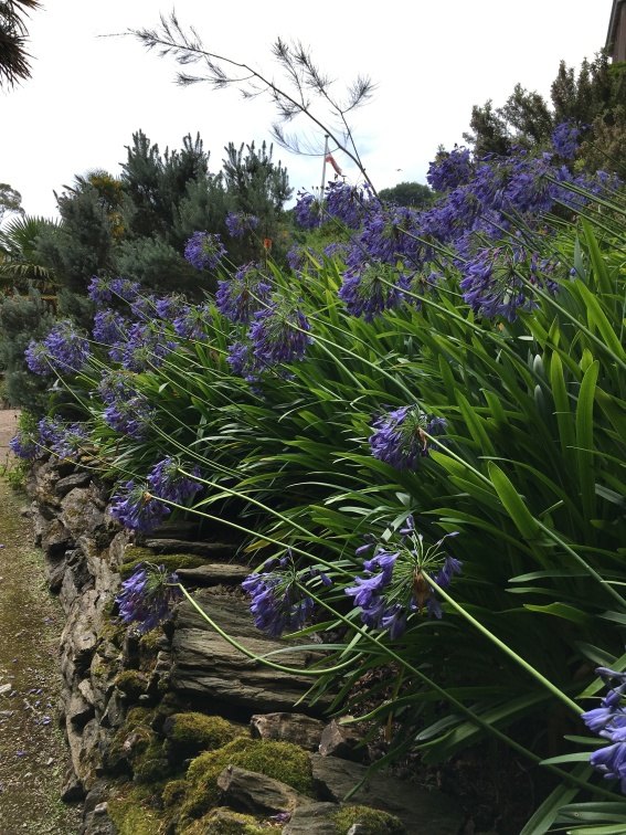 Blue Agapanthus at Overbeck's, Devon