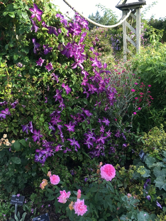 purple clematis and pink roses