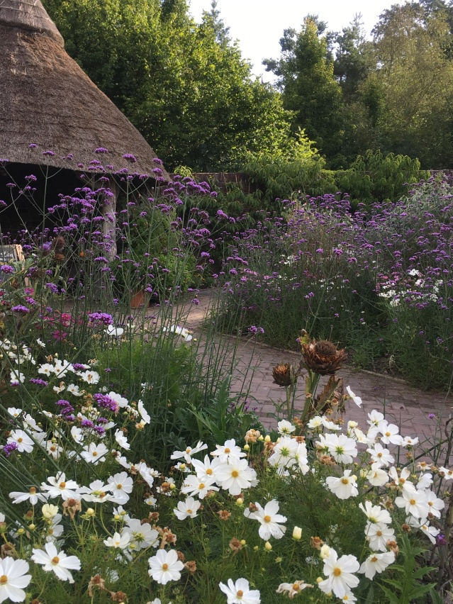 Verbena bonariensis and cosmos in the potager