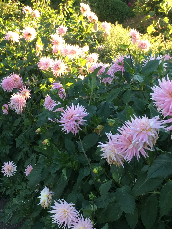 Dahlia 'Weddington Pink'