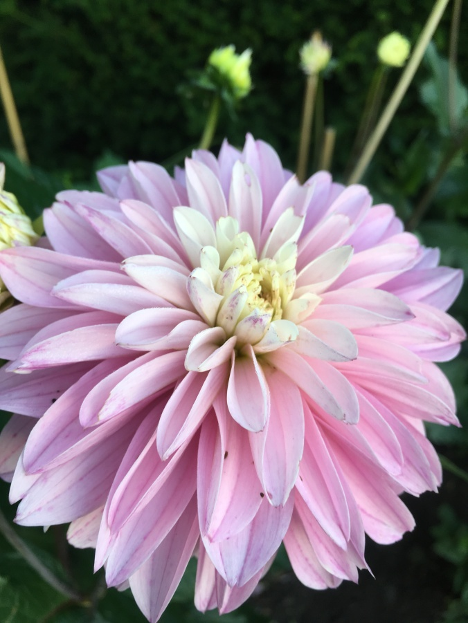Dahlia 'Paradise City' at Salutation Gardens