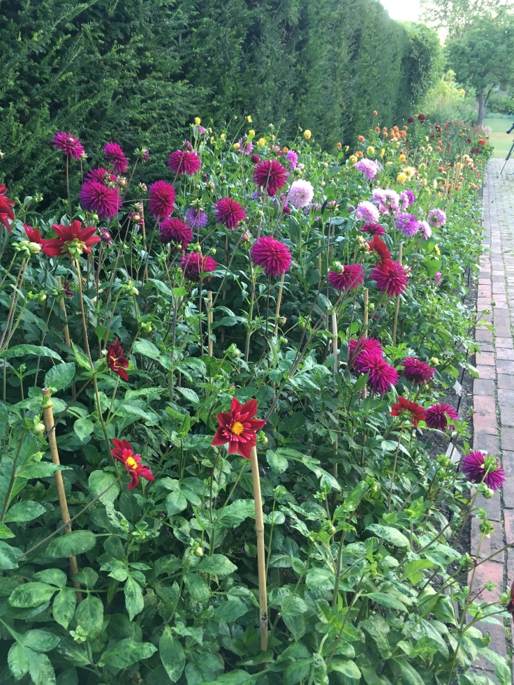 Dahlia bed at the Salutation