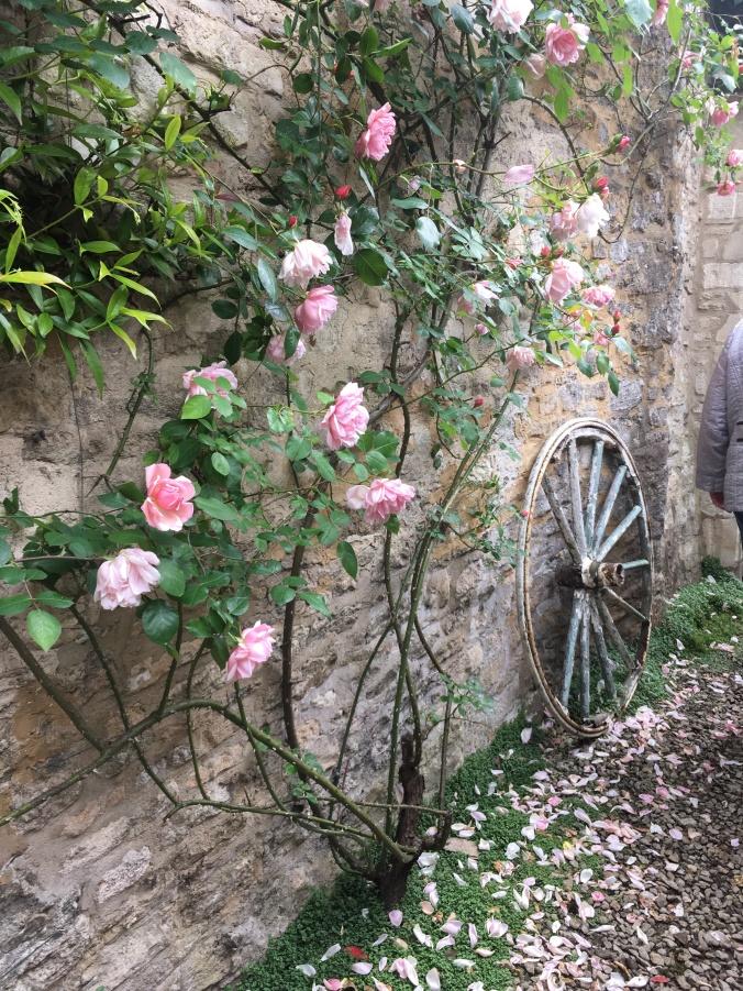 Climbing pink rose Albertine