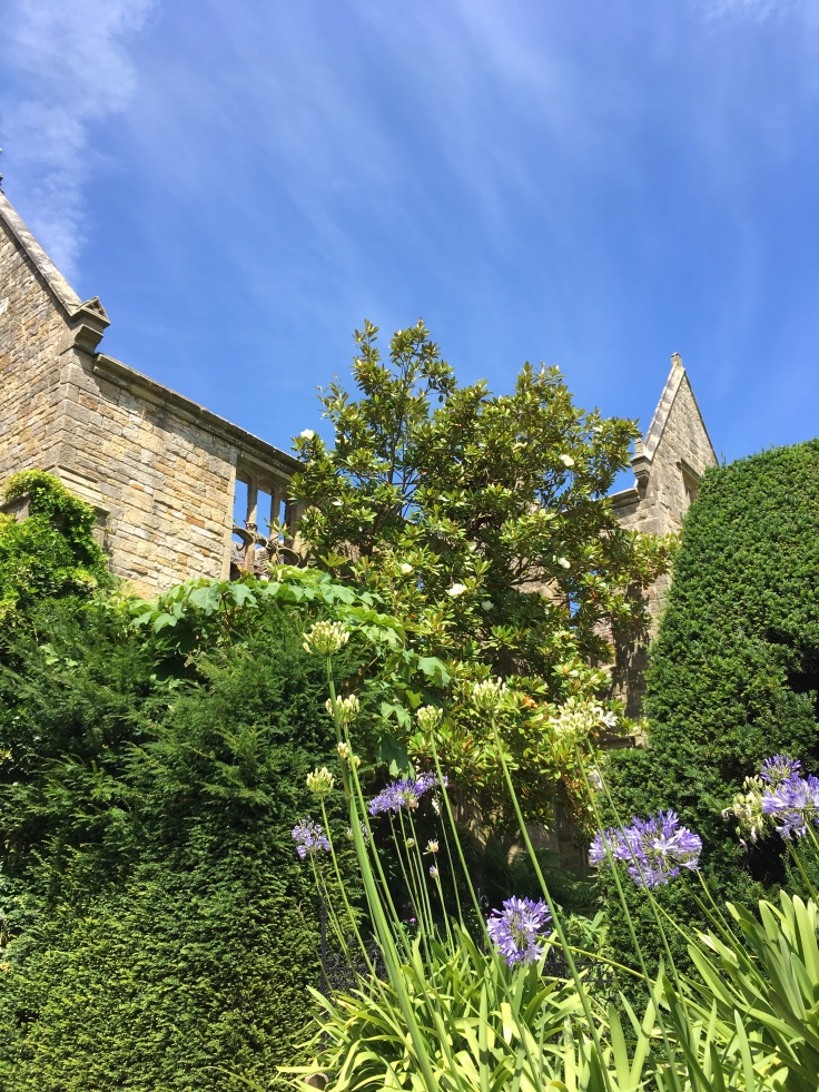 agapanthus and magnolia grandiflora beside the ruined house at Nymans