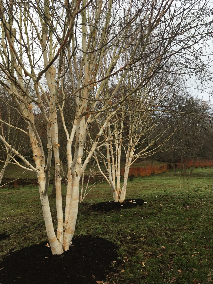 betula utilis var. jacquemontii 'grayswood ghost' at the Savill Garden