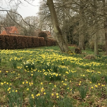 Daffodils with a view looking back towards the house