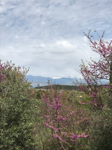 the Corfu roadside - the statling pink Judas Tree