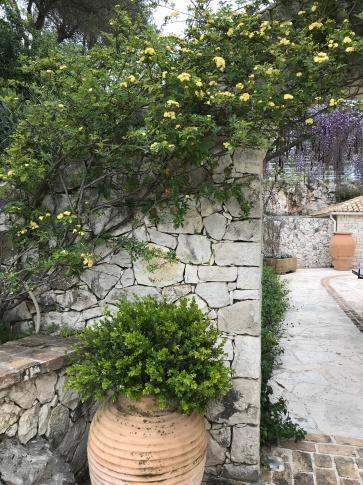 Rosa Banksiae 'Lutea' and Wisteria in a Corfu garden