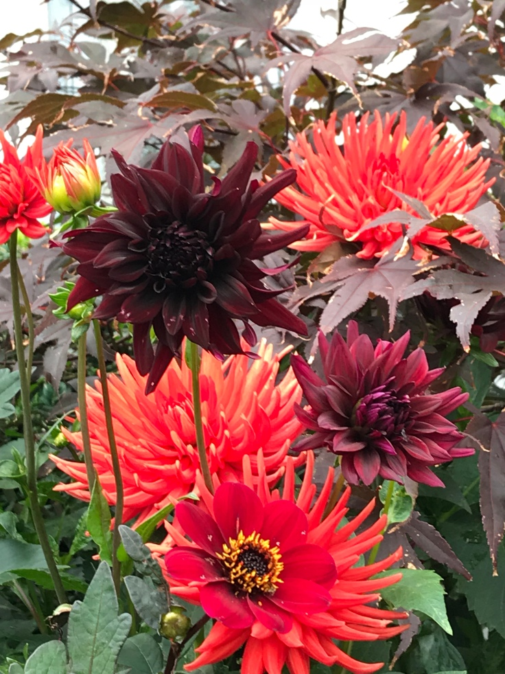 Orange, red & chocolate dahlias planted together
