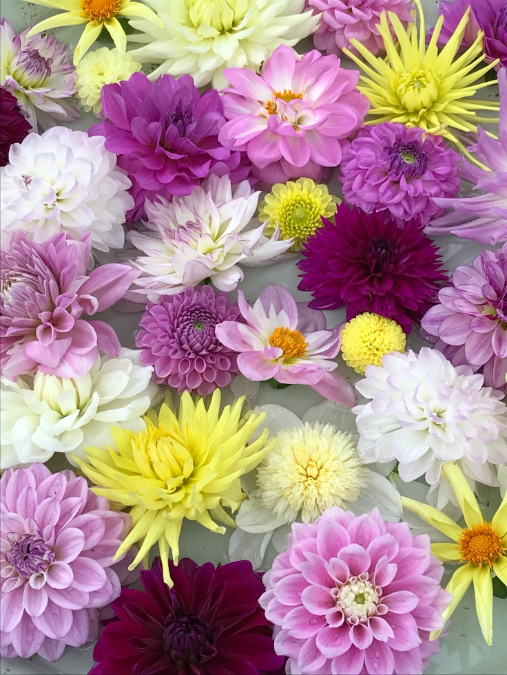 Dahlia heads in bowl