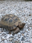 One of the many rescued tortoises