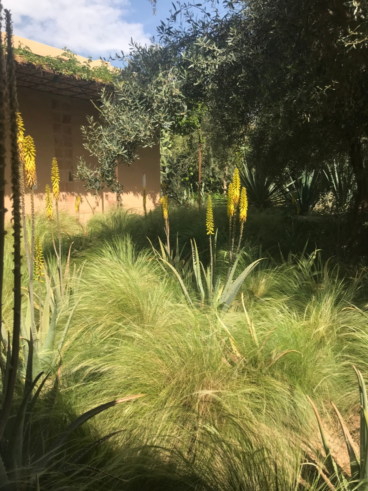 Stipa tenuissima & flowering agaves