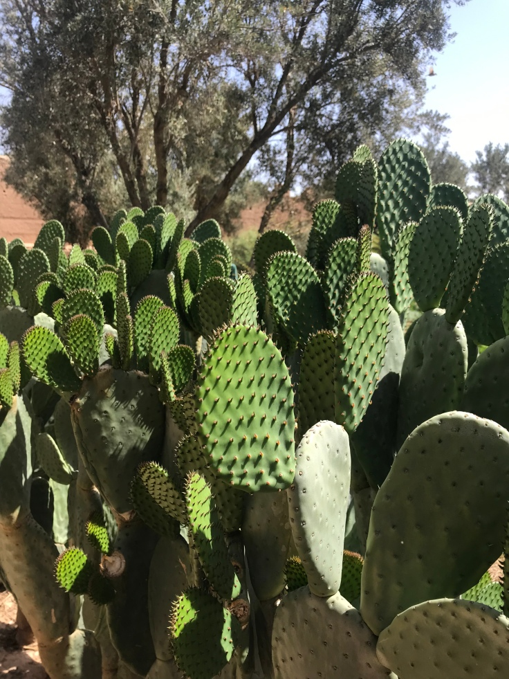 Prickly pears grow well in Morocco